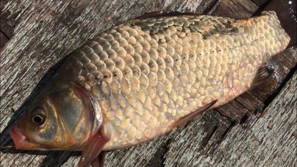 ВИДЕО: Фидерная рыбалка на карася   ловля карася на фидер   фидер для начинающих   рыбалка 2020