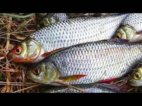 ВИДЕО: Как ловить плотву осенью?