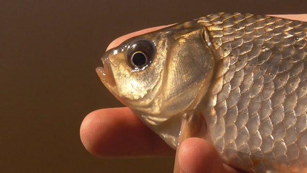 ВИДЕО: Рыбалка на карася. Поплавочная ловля. Разведка на удочку