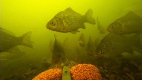 ВИДЕО: Шок! Реакция рыбы на жмых: кукуруза + чеснок | эксперимент с прикормка для карася | рыбалка 2020