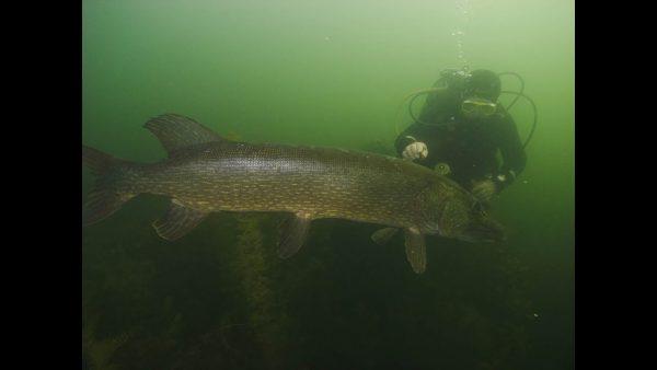 ВИДЕО: Щука 130 см, встретил под водой