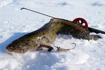 Ловля налима в феврале