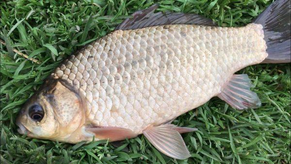 ВИДЕО: Батл на рыбалке. Убийца карася против кормака от Михалыча. Рыбалка на карася. Рыбалка 2021
