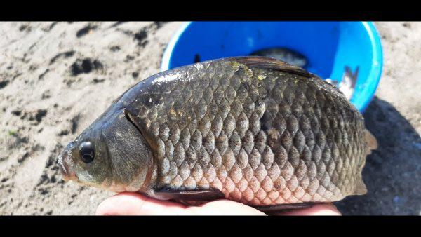 ВИДЕО: Ловля КАРАСЯ на ТЕСТО донками в реке. Рыбалка на карася летом на волос.